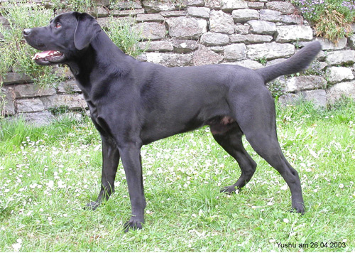 labrador-retriever zvg